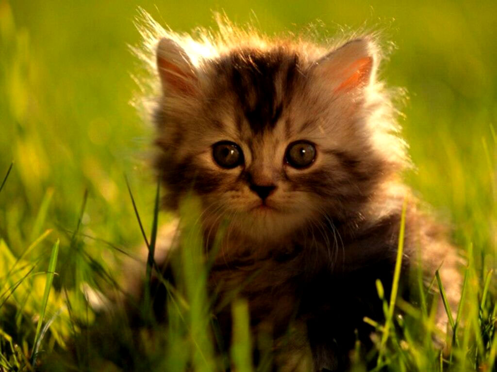Kitten desktop wallpapers Download